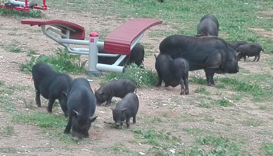 Un grup de porcs vietnamites busca menjar a un parc infantil de Sant Pere i Sant Pau.