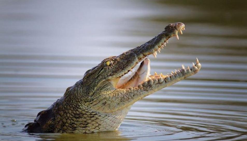 El cocodril va atrapar pel braç el noi i no el va deixar fins que va intervenir el pare.