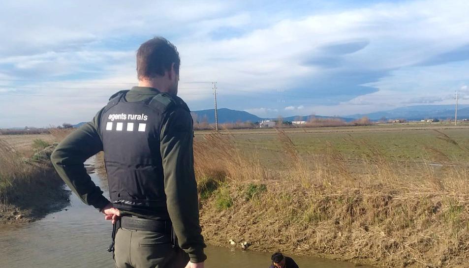 Els agents rurals van alliberar les carpes al seu medi natural.