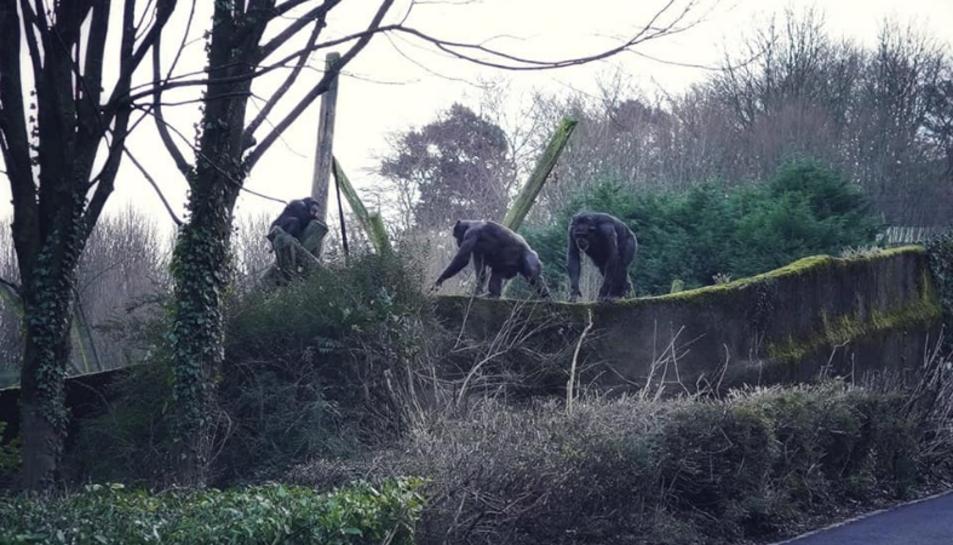 Imatge dels ximpanzés escapant.