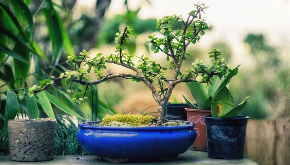 Imatge d'arxiu d'un bonsai.