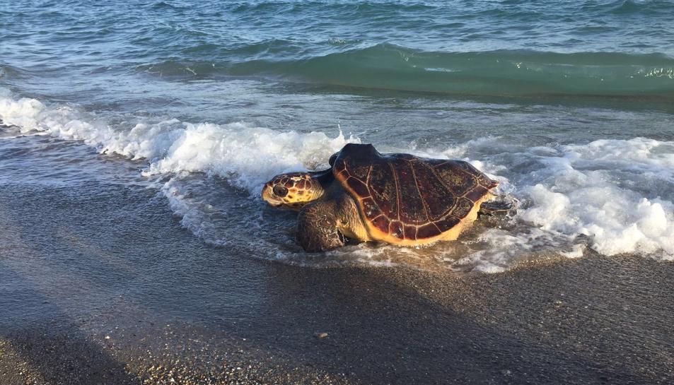 Exemplar de tortuga marina recuperada i retornada al seu medi natural.