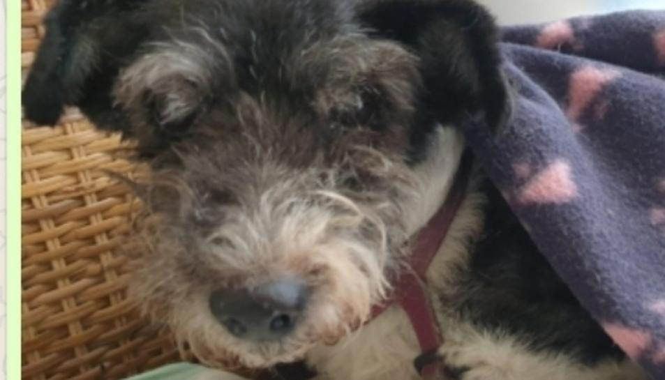 Imatge de la Vaki, la gossa perduda a Creixell.