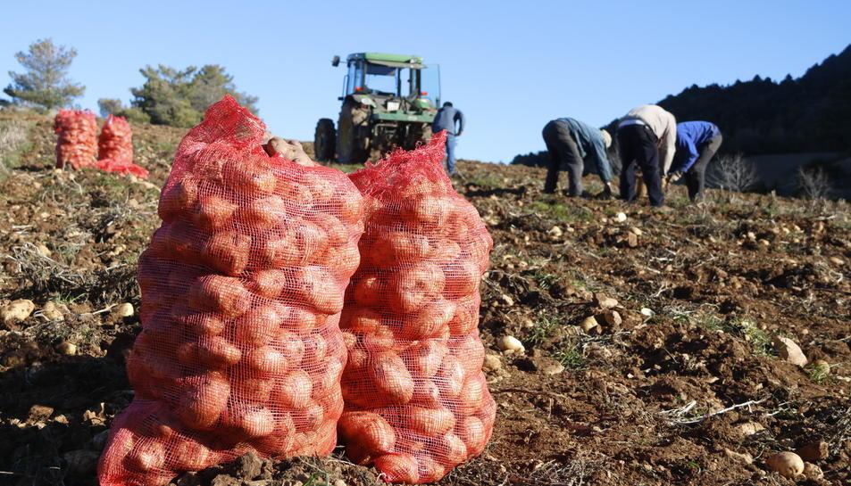Imatge d'arxiu d'una plantació de patates.