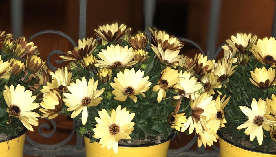El grup municipal ERC del Catllar va publicar ahir una imatge de flors grogues al seu Twitter avançant aquesta acció.