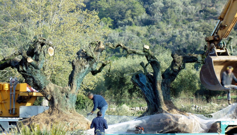 Alguns operaris preparant les oliveres arrencades prop de la zona del Pou de les Piques de Godall per endur-se-les.