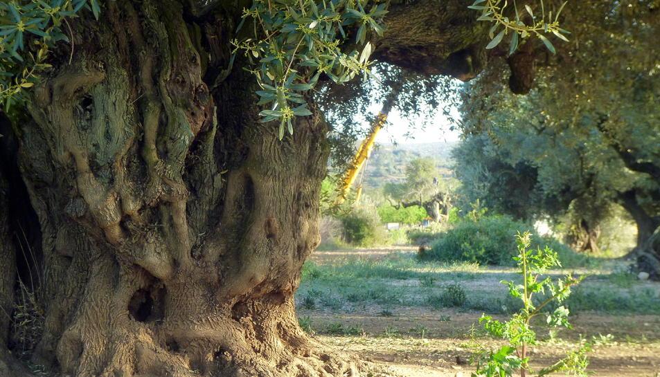 El tronc de l'olivera mil·lenària del Pou de les Piques de Godall, mentre una grua al fons s'emporta un altre exemplar d'olivera d'un altra finca.