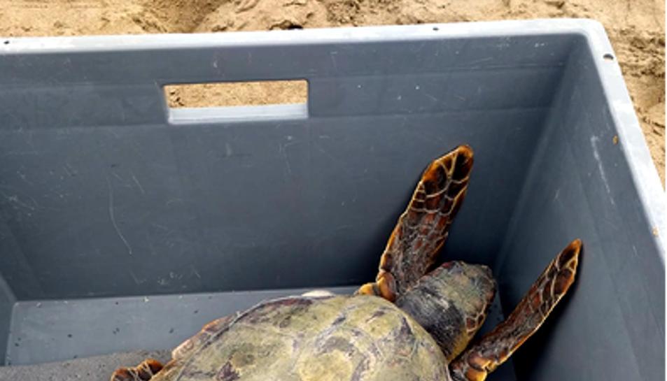 Imatge d'una de les cinc tortugues marines alliberades.
