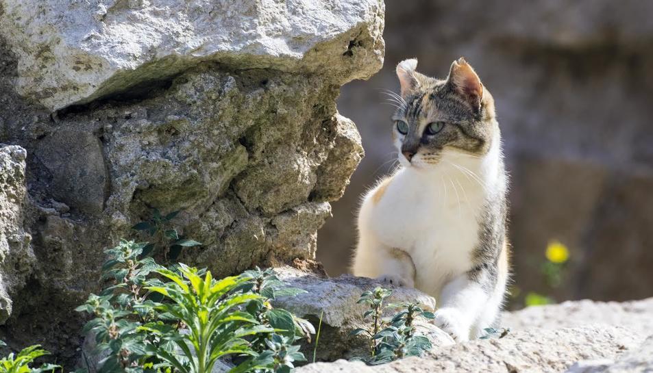 Una gata esterilitzada de la Part Alta de Tarragona.