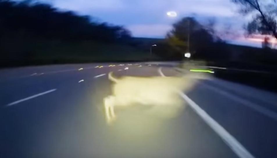 El cérvol, creuant la carretera