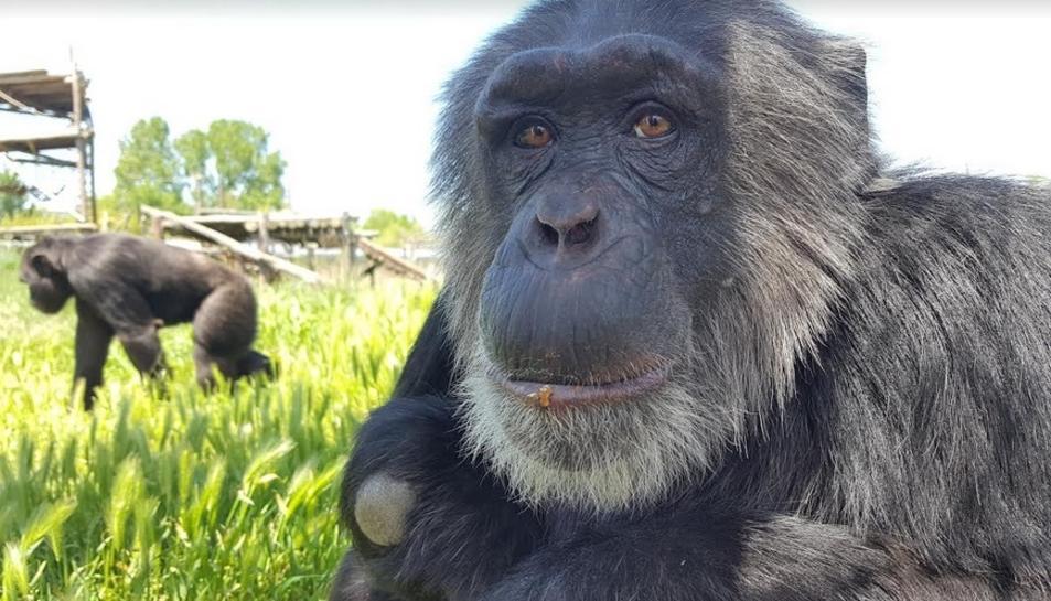 Imatge d'un ximpanzé rescatat de la Fundació Mona