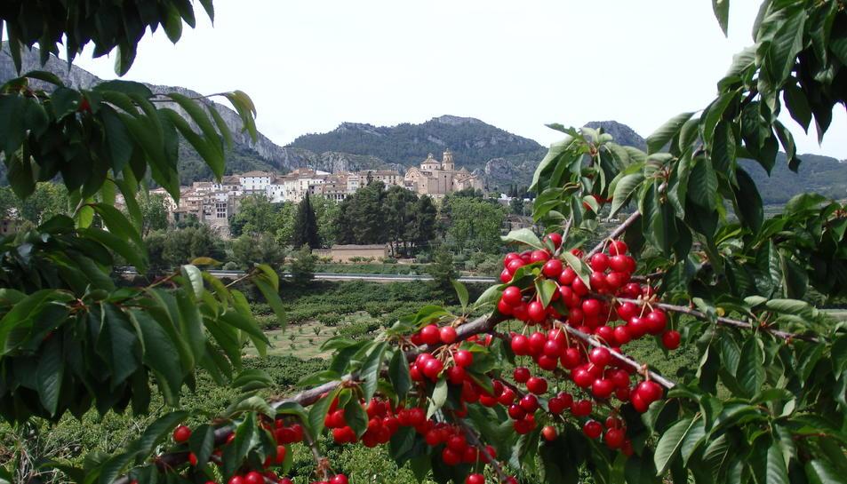 Tivissa és el primer productor de cireres de Catalunya.
