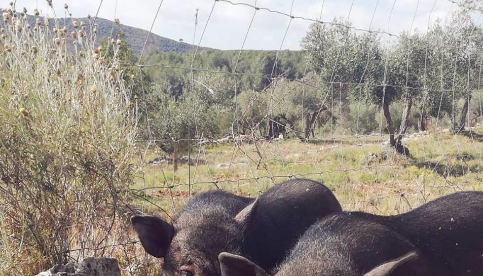 En el santuari hi viuen alguns porcs rescatats a Sant Pere i Sant Pau, entre d'altres animals.