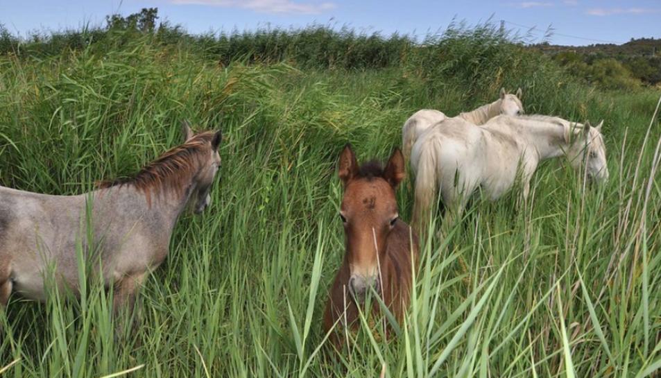 Cavalls a la reserva natural de Sebes.