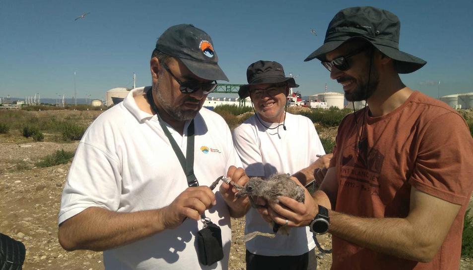 Està previst que s'anellin 1.100 polls -uns 400 a Tarragona, 300 a Barcelona i 400 a l'Ebre.