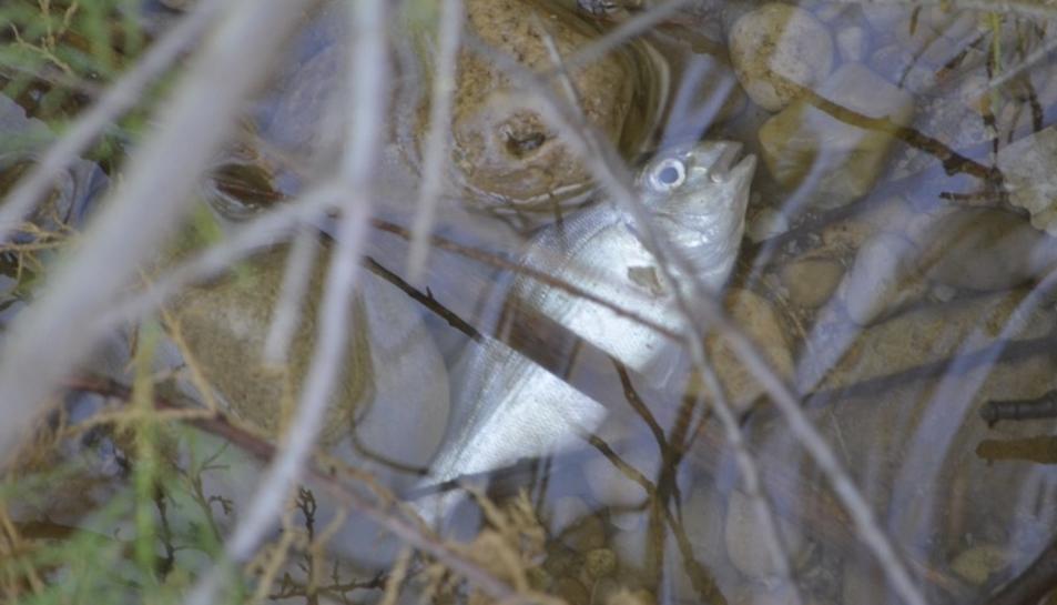 Pla detall d'un peix mort a la desembocadura del Foix.