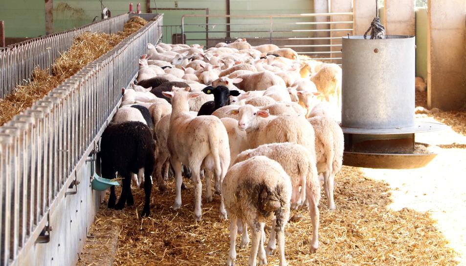Pla general de l'explotació, amb una part del ramat d'ovelles.