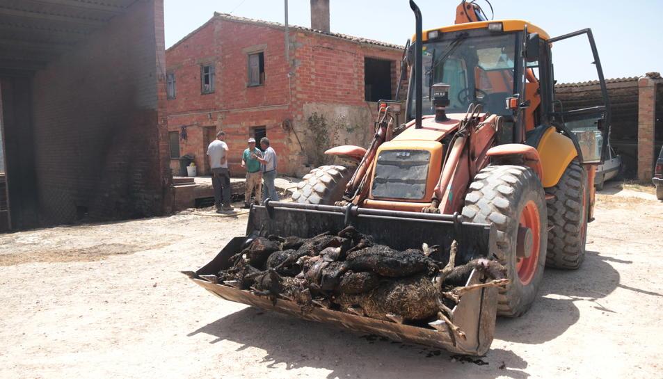 Un tractor amb animals morts de la granja més afectada per l'incendi de la Ribera d'Ebre.