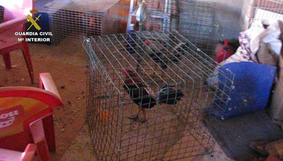 Imatge d'una de les gàbies amb un dels galls localitzats durant el registre.