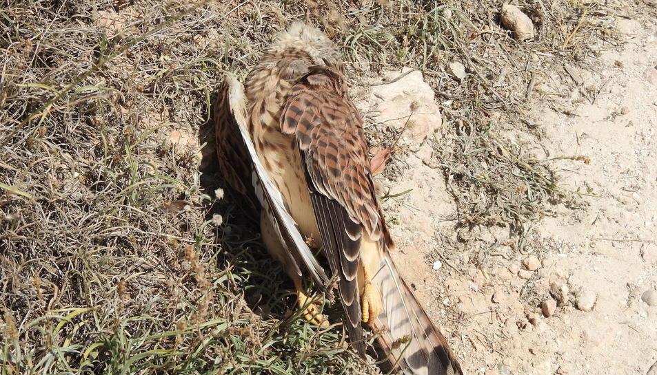 L'exemplar de falcó mort recentment.