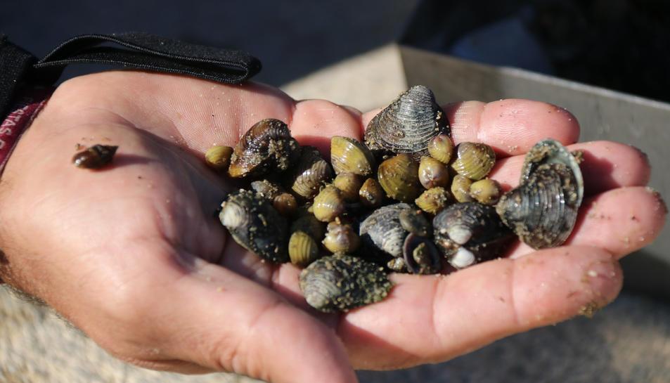 Pla detall d'exemplars de cloïssa asiàtica del riu Ebre.