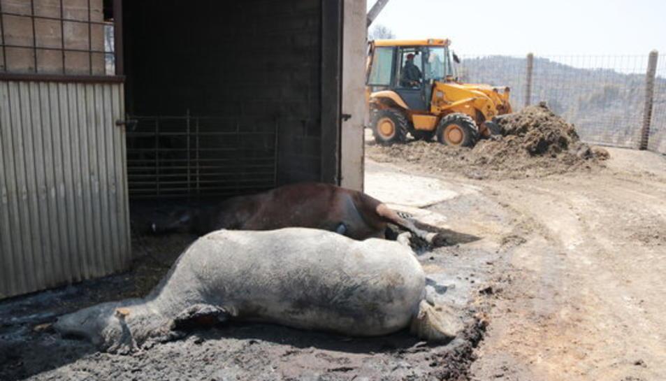 Imatge d'un animal mort en la granja més afectada per l'incendi de la Ribera d'Ebre al terme municipal de la Torre de l'Espanyol.