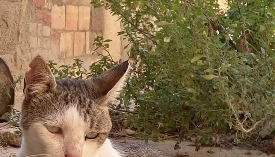 Tim, gat amb la marca a l'orella, formava part d'una colònia controlada.