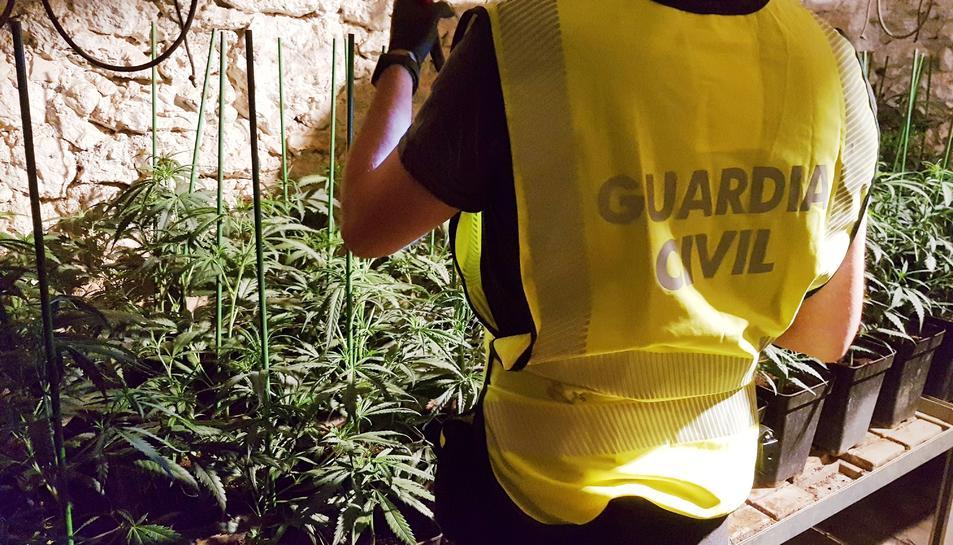 Els agents van intervenir 564 plantes de marihuana.