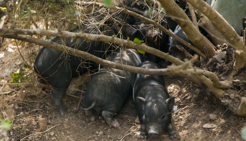 Uns garrins que van néixer recentment, després del part de cinc femelles.
