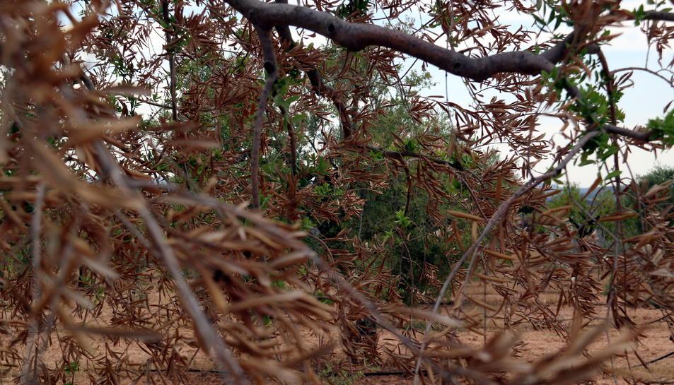 Primer pla de fulles d'oliveres cremades davant una olivera verda que es va salvar. Imatge del 7 d'agost del 2019 (horitzontal)
