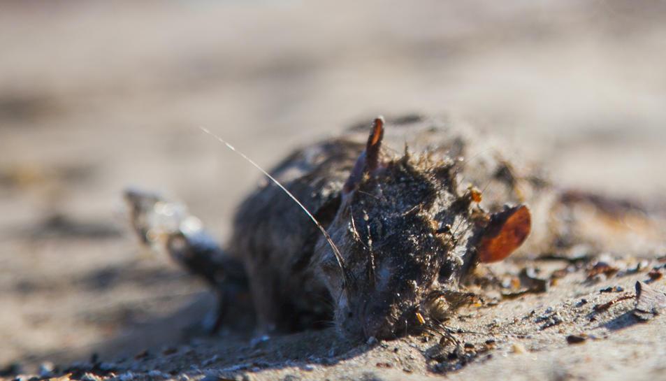 Al Miracle, les rates mortes van aparèixer juntament amb les boletes de plàstic.