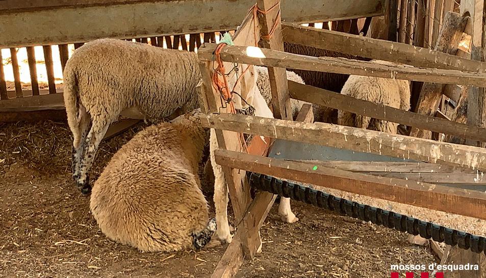 La finca estava destinada a explotació ramadera d'aquest tipus de bestiar.