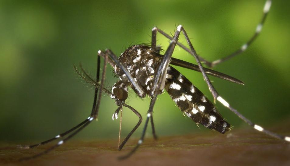 Imatge del mosquit tigre.