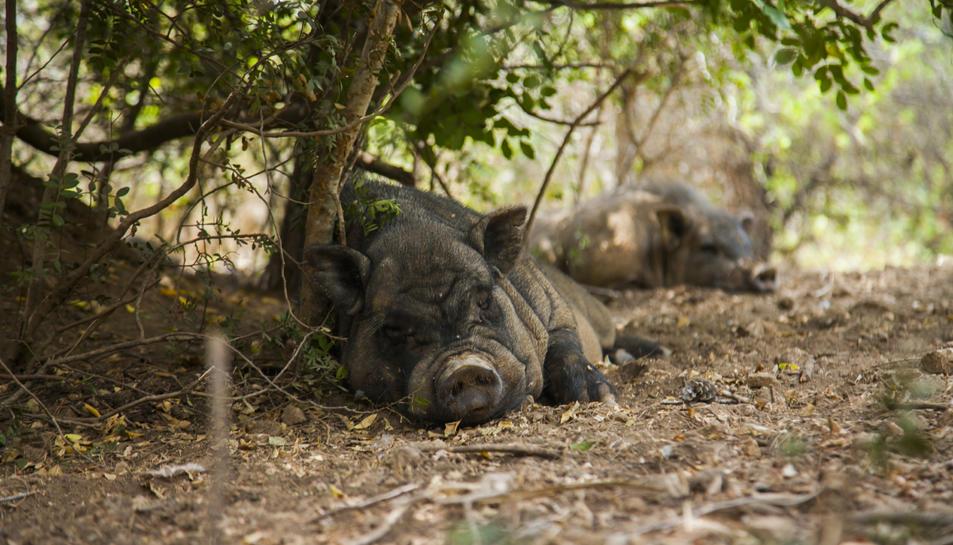 Galls, porcs i gats, entre d'altres, han format part del paisatge urbà de la ciutat en diverses ocasions.