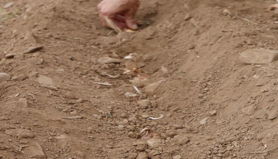 Pla detall de bulbs de safrà plantats a l'agost en un solc dins d'una finca de Montblanc.