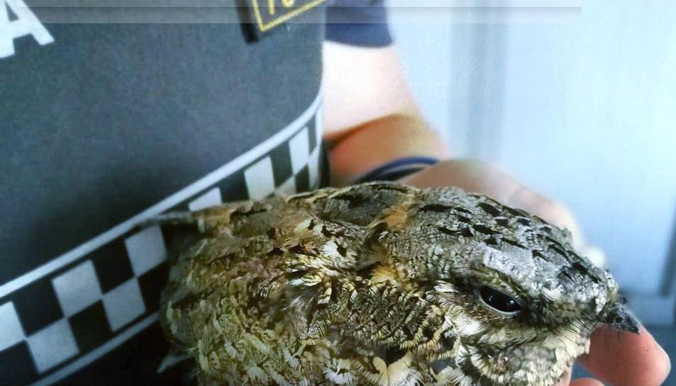 Imatge de l'exemplar d'enganyapastor rescatat.