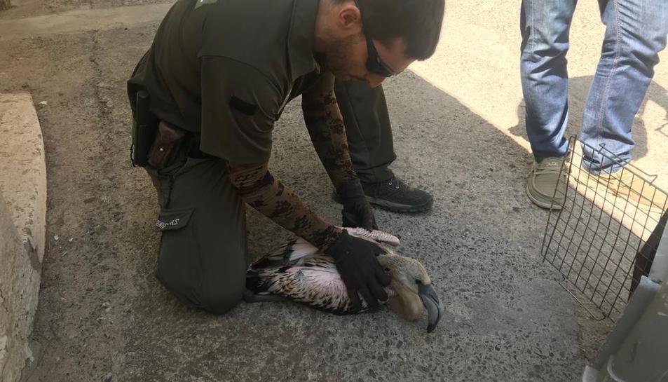 Imatge d'un agent rural agafant el poll de flamenc.