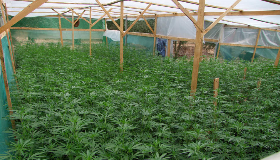 Imatge del cultiu de marihuana.