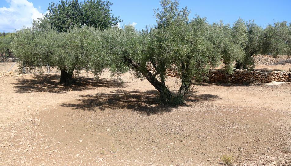 Pla general d'oliveres després de la pluja de dimarts en una finca al terme municipal de l'Ametlla de Mar.