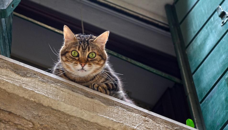 Els gats joves i sense esterilitzar són els que tenen més probabilitat de caure.