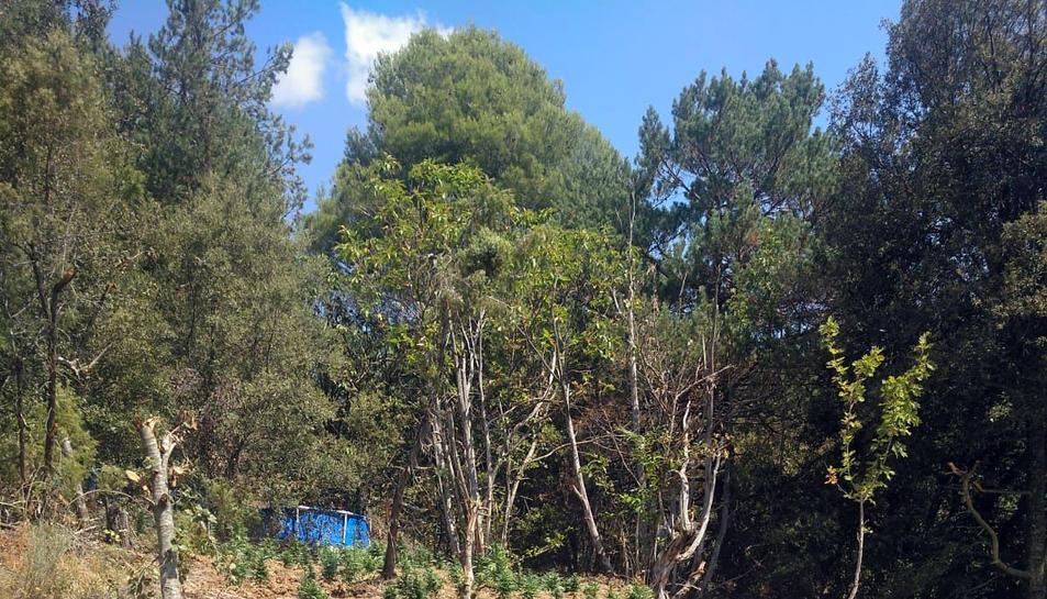 Imatge de la plantació descoberta a Capafons.