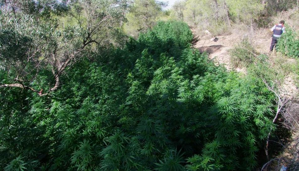 Pla mitjà de diverses plantes de marihuana localitzades al municipi del Pinell de Brai. Imatge publicada el 9 de setembre del 2019