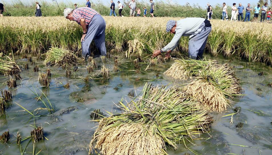 Pla general dels segadors segant l'arròs durant l'exhibició feta a les festes de l'arròs de Deltebre. Imatge del 15 de setembre del 2019 (Horitzontal).