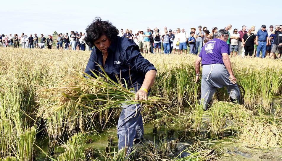 Pla obert d'una segadora que ha participat en l'exhibició de la sega de l'arròs en les festes de Deltebre. Imatge del 15 de setembre del 2019 (Horitzontal).
