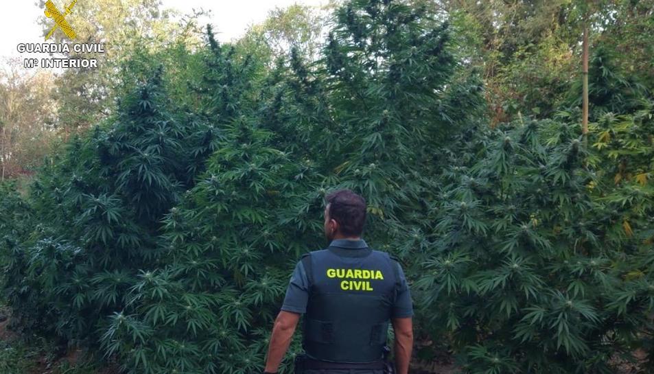 Un agent d'esquenes amb la plantació de marihuana descoberta a Sant Mori.