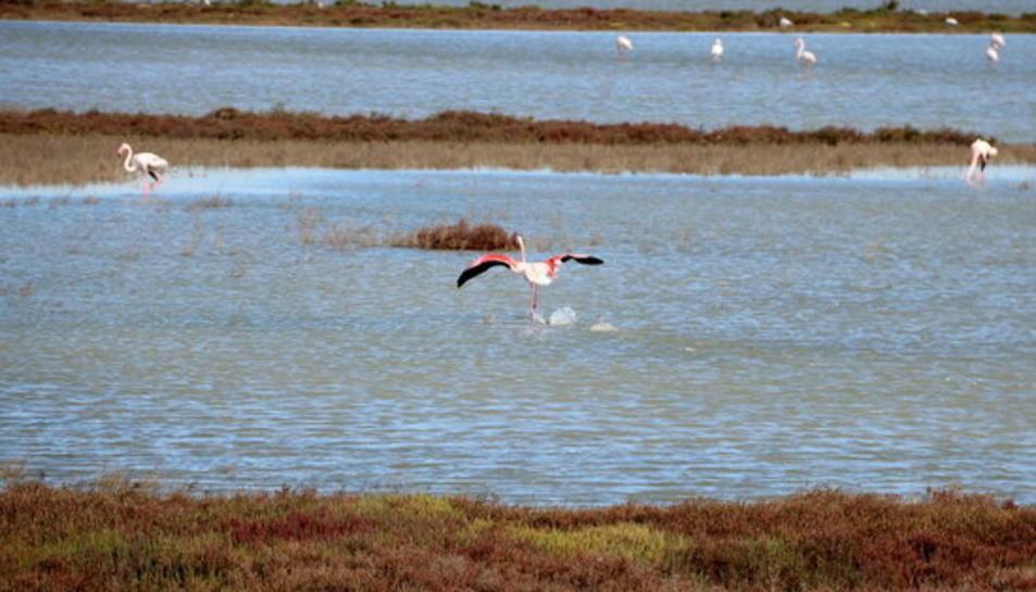 Un flamenc aterra en un zona d'aiguamoll pròxima a la Tancada, al delta de l'Ebre.