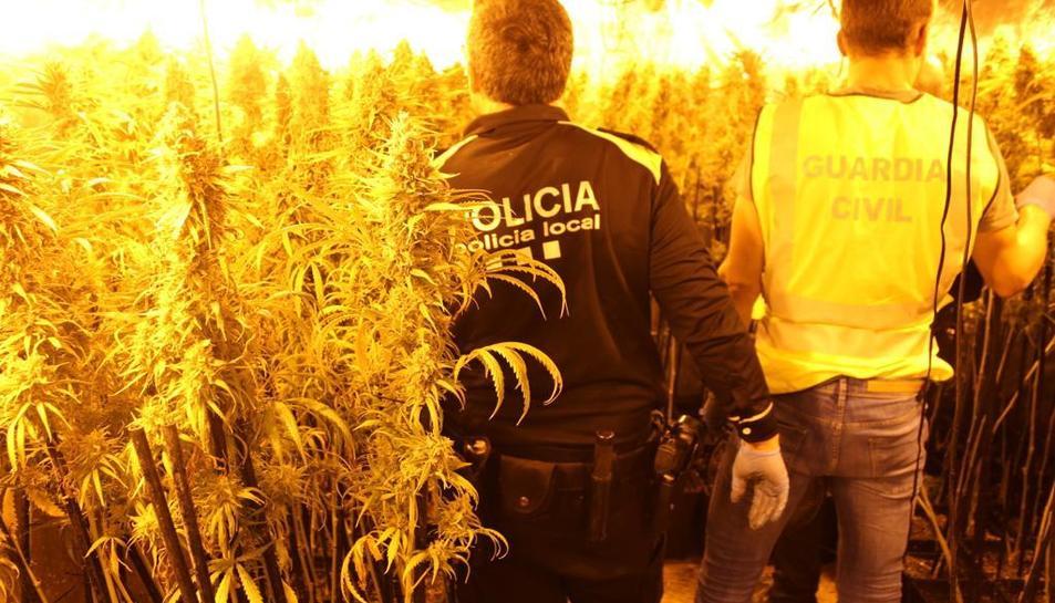 A l'habitatge van trobar més de 500 plantes de marihuana adultes.
