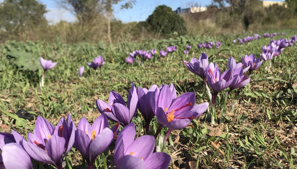 Flors de safrà dels cultius d'Aromis de la Conca a Montblanc.