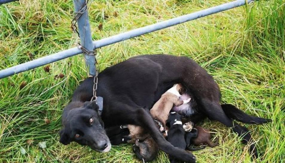 Imatge de la gossa lligada a la tanca mentre alletava els cadells
