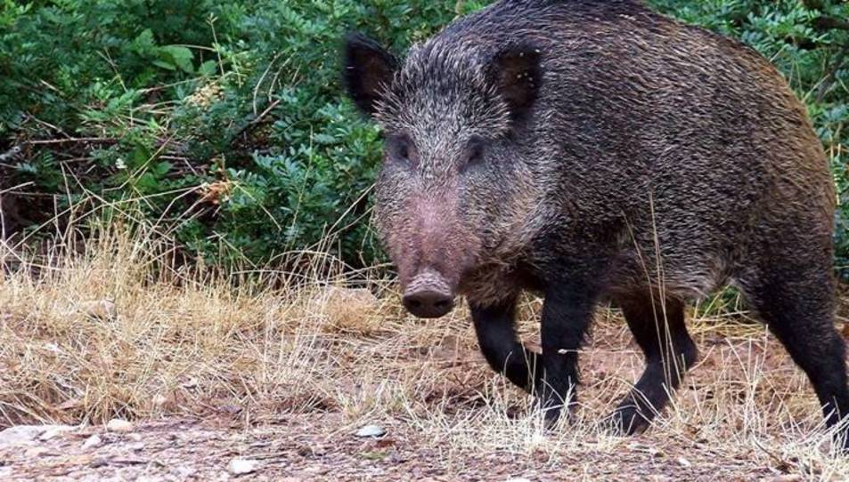 Imatge d'arxiu d'un porc senglar
